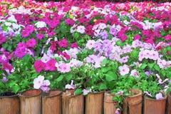 De kleurrijke multicolored bloemen die van impatiensbalsamina binnen gaden met bamboeomheining, aardgroep bloeien stock fotografie