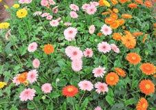 De kleurrijke multicolored van barbertonmadeliefje of gerbera bloemen groeperen het bloeien in tuin, sieraardachtergrond stock afbeeldingen