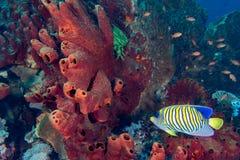 De kleurrijke onderwaterkoninkrijken van Raja Ampat, Papoea Indonesië stock fotografie