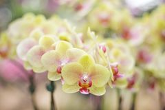 De kleurrijke orchideeën van bloemen gele phalaenopsis groeperen het bloeien in tuin op achtergrond, aardpatronen sier royalty-vrije stock afbeeldingen