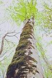 De kleurrijke oude boomstam van de sycomoorboom en brunchessilhouetten op Royalty-vrije Stock Foto