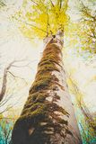 De kleurrijke oude boomstam van de sycomoorboom en brunchessilhouetten op Stock Afbeeldingen