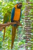 De kleurrijke papegaaien die van Araara ararauna op een tak zitten Stock Foto's