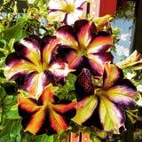 De kleurrijke petunia bloeit close-up, natuurlijke achtergrond Royalty-vrije Stock Foto