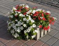 De kleurrijke planter van de de lentebloem Royalty-vrije Stock Foto