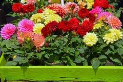 De kleurrijke potten van de dahliabloem Stock Afbeeldingen