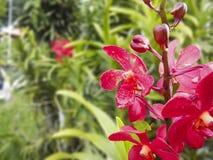 De kleurrijke purpere bloemen van de Orchidee Stock Afbeelding