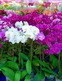 De kleurrijke purpere bloemen van de Orchidee stock foto