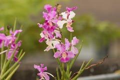 De kleurrijke purpere bloemen van de Orchidee Stock Fotografie