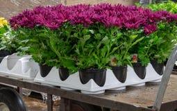 De kleurrijke purpere lente mums in dienblad stock foto's