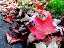 De kleurrijke rode bladeren van de de herfstesdoorn Stock Afbeelding