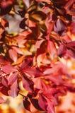 De kleurrijke rode herfst gaat dicht omhoog weg, Narita, Japan Stock Fotografie