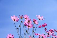 De kleurrijke roze kosmos bloeit bloomingon levendige blauwe hemelachtergrond stock foto
