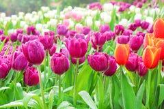De kleurrijke sierbloemen purpere tulp met water laat vallen groeps natuurlijke patronen die in tuin voor achtergrond bloeien stock afbeeldingen