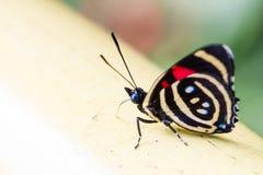 De kleurrijke species van Vlindercatagramma Royalty-vrije Stock Foto's