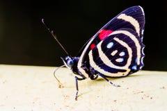 De kleurrijke species van Vlindercatagramma Royalty-vrije Stock Fotografie