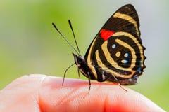 De kleurrijke species van Vlindercatagramma Stock Foto's