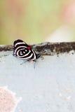 De kleurrijke species van Vlindercatagramma Stock Afbeeldingen