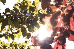 De kleurrijke takken van de pruimboom onder de zon Stock Fotografie