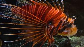 De kleurrijke tropische vissen zwemmen dichtbij ander marien leven stock video