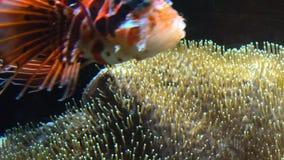 De kleurrijke tropische vissen zwemmen dichtbij ander marien leven stock footage