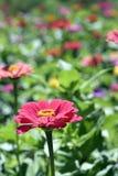 De kleurrijke tuin van Afrikaanse madeliefjes Royalty-vrije Stock Afbeelding