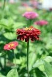 De kleurrijke tuin van Afrikaanse madeliefjes Stock Foto
