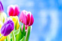 De kleurrijke tulp bloeit op een blauwe achtergrond met een exemplaarruimte voor een tekst Bovenkant van mening Blauwe hemelachte royalty-vrije stock afbeeldingen