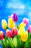 De kleurrijke tulp bloeit op een blauwe achtergrond met een exemplaarruimte voor een tekst Bovenkant van mening Blauwe hemelachte royalty-vrije stock afbeelding