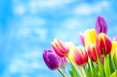 De kleurrijke tulp bloeit op een blauwe achtergrond met een exemplaarruimte voor een tekst Bovenkant van mening Blauwe hemelachte stock foto