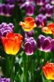 De kleurrijke tulp in zon glanst Royalty-vrije Stock Afbeelding