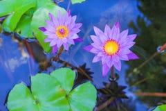 De kleurrijke twee purpere lotusbloembloem die bloeien met doorbladert in water en bezinning van de blauwe hemel en de boom royalty-vrije stock fotografie