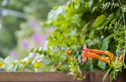 De kleurrijke vage bokeh tuinachtergrond met houten omheining langs bodem en een Trompetwijnstok - Campsis radicans - komen aan d stock afbeelding