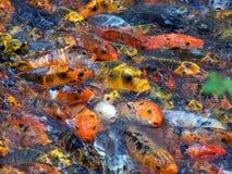De kleurrijke vissen proberen om voedsel te krijgen Royalty-vrije Stock Foto's