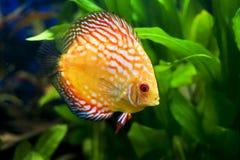 De kleurrijke vissen van de Discus Stock Fotografie