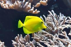 De kleurrijke vissen van het neon gele zweempje in een aquarium stock fotografie