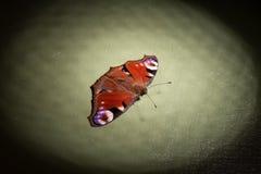 De kleurrijke vlinder Nymphalidae Inachis io gren achtergrond stock foto