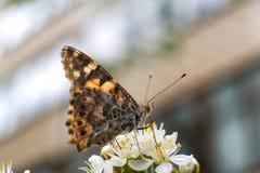 De kleurrijke vlinder verzamelt stuifmeel van kersenbloesems met zijn zuigorganen stock foto