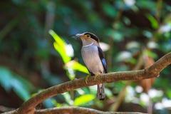 De kleurrijke vogel zilveren-Breasted broadbil Stock Fotografie