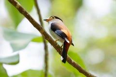 De kleurrijke vogel zilveren-Breasted broadbil Royalty-vrije Stock Fotografie