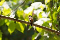 De kleurrijke vogel zilveren-Breasted broadbil Stock Foto's