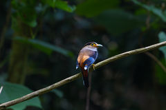 De kleurrijke vogel zilveren-Breasted broadbil Stock Afbeeldingen