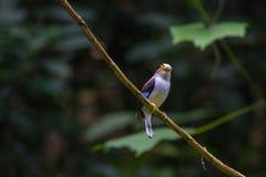 De kleurrijke vogel zilveren-Breasted broadbil Stock Foto