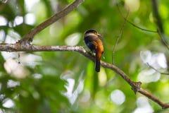 De kleurrijke vogel zilveren-Breasted broadbil Royalty-vrije Stock Afbeeldingen