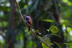 De kleurrijke vogel zilveren-Breasted broadbil Stock Afbeelding