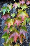 De kleurrijke wijnen van de bladerenhond in de herfst royalty-vrije stock foto's
