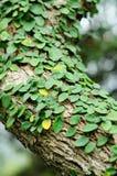 De klimmer van de boomstam royalty-vrije stock afbeeldingen