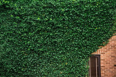 De klimop beklimt de muur van een huis Stock Foto
