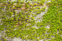 De klimop van Boston (klimplant) op een muur royalty-vrije stock afbeeldingen