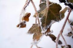 De klimop van de winter Stock Afbeeldingen